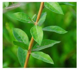 ヘナの葉2